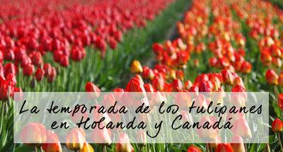 La temporada de los tulipanes en Holanda y Canadá