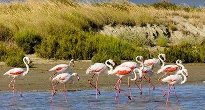 Los flamencos rosados