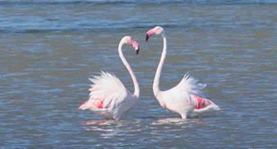Flamencos rosados en Camarga