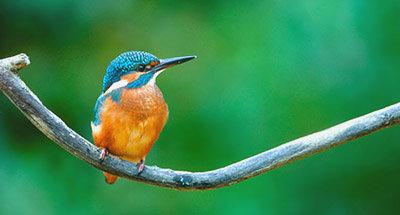 Pájaro Martín pescador