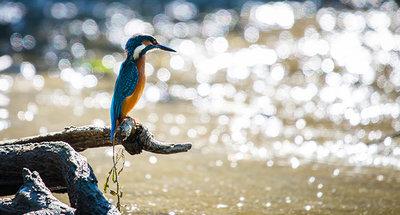 Martín pescador en Loire Nivernais