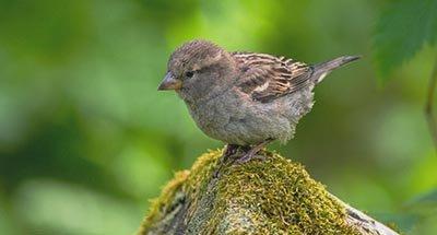 Pájaro marrón