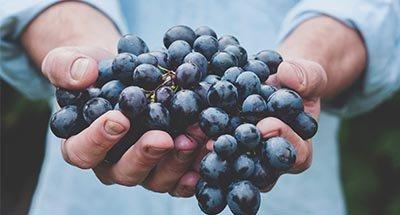 Un hermoso racimo de uvas