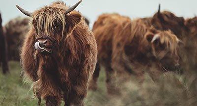Vaca de las Highlands