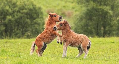 Poneys de las islas Shetland
