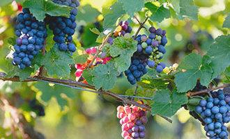 Uvas en una vid