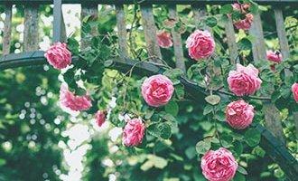 Enrejado de rosas